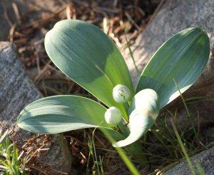 Allium = inte rensa bort!