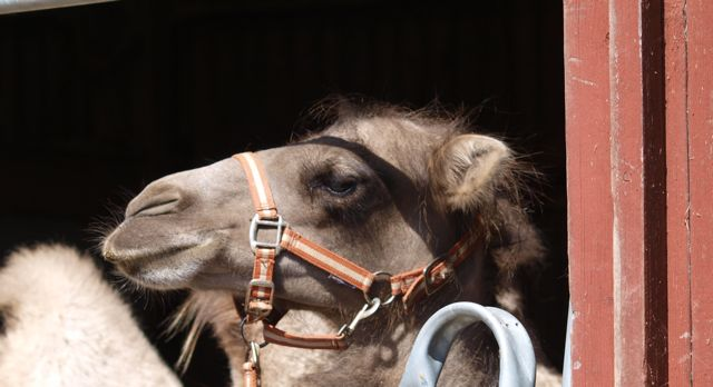 Kamel på Öland
