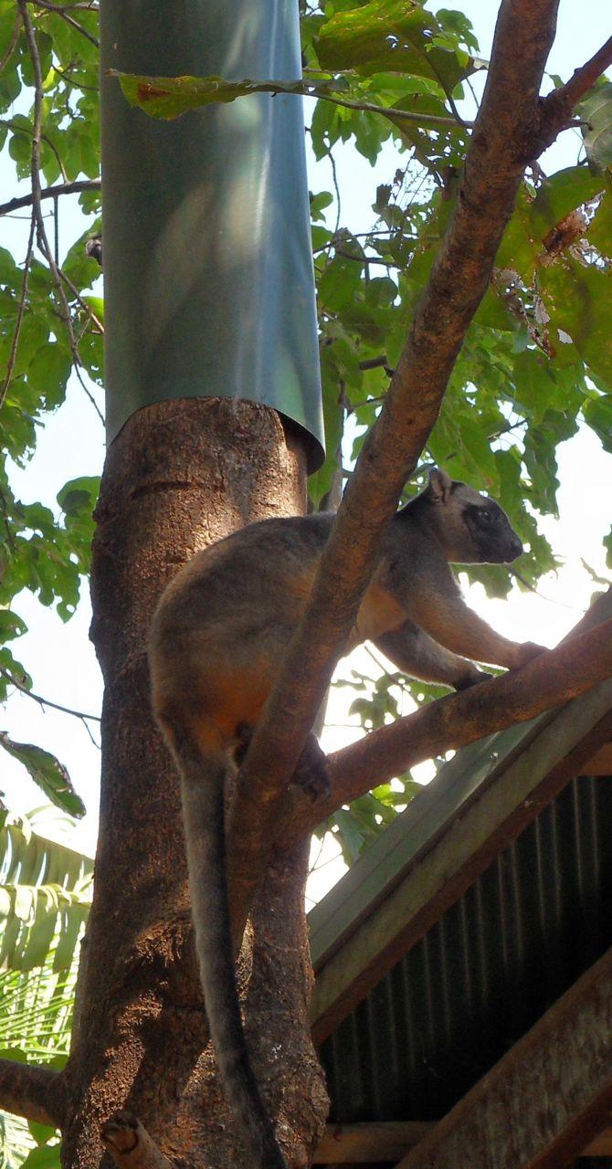 En trädkänguru, lever som solitär...